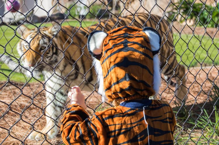 boy in tiger cosutme looking at real tiger for halloween at the zoo