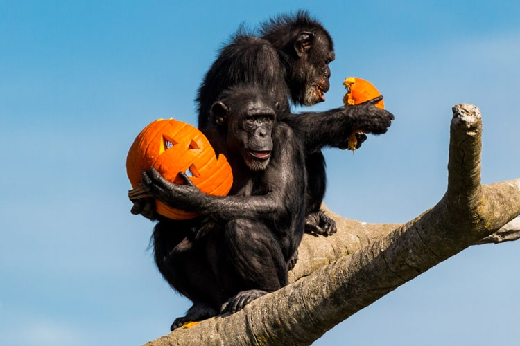 primates holding pumpkings for halloween at the zoo